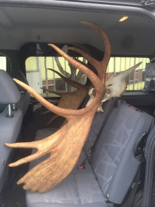 Antlers for acquisition delivered to the museum in the Carrlee's trusty Ford Transit Connect.